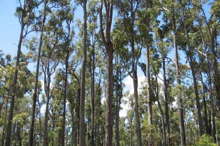 jarrah-forest